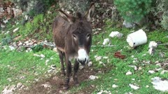 Donkey on the leash Stock Footage