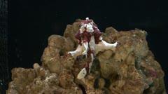In a aquarium antennarius color Stock Footage