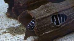 In a aquarium fish a moray eel hides Stock Footage