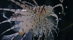 In a aquarium Pterois volitans Stock Footage
