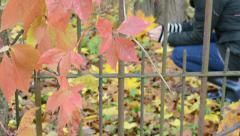 Blur girl gather autumn maple leaves retro rusty garden fence Stock Footage