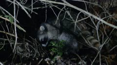 Stock Video Footage of Raccoon At Night