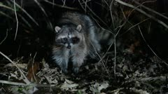 Raccoon At Night Stock Footage