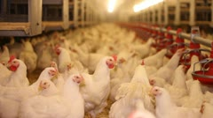 Chicken Farm, Poultry - stock footage