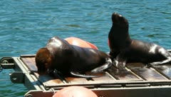 Sea lions on platform Stock Footage