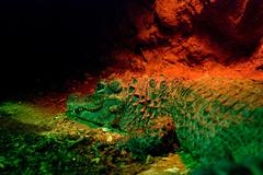 A green crocodile in a red light Stock Photos
