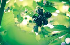A blackberries in a bush Stock Photos