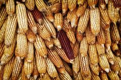 golden corn cobs hanging to dry - stock photo