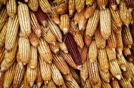 Golden corn cobs hanging to dry Stock Photos