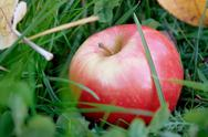 Stock Photo of rosy apple fell on the green grass