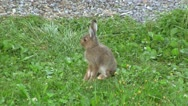 Young mountain hare sitting on a lawn Stock Footage