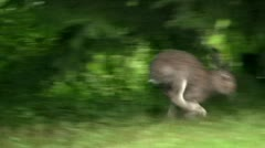 Young mountain hare hopping along the edge of a lawn Stock Footage