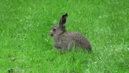 Young mountain hare feeding on weeds Stock Footage