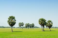 Sugar palm tree on rice field Stock Photos