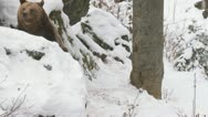 Stock Video Footage of Brown bear in winter