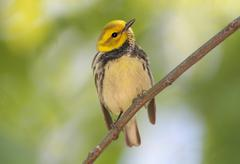 black-throated green warbler dendroica virens - stock photo