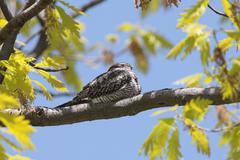 common nighthawk chordeiles minor - stock photo