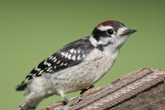 downy woodpecker picoides pubescens - stock photo