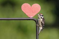 Downy woodpecker picoides pubescens Stock Photos