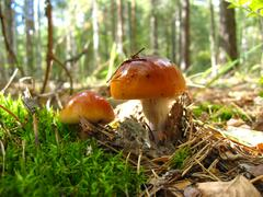 Beautiful young fly agaric in the forest Stock Photos