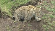 LEOPARD LOOKS INTO CAMERA Stock Footage