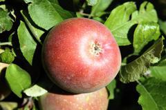 red apple - stock photo