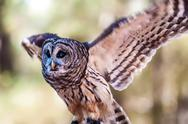 Owls are the order Stock Photos