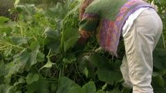 Squash harvest - stock footage