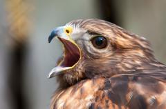 Hawk raptor Stock Photos