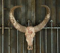 old buffalo skull - stock photo