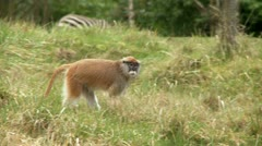 Patas Monkey Stock Footage