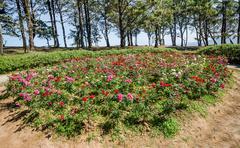 rose plant on mountain - stock photo