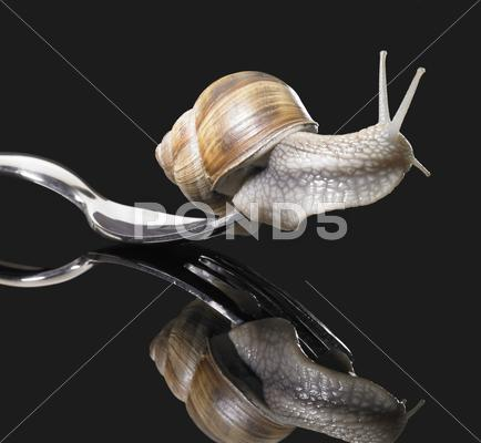 Stock photo of grapevine snail on fork