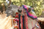 Adorned camel portrait Stock Photos