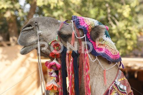 Stock photo of adorned camel portrait