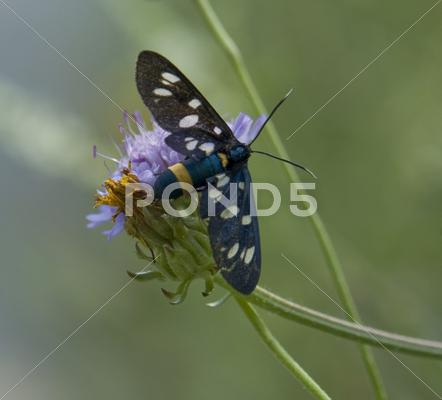 Stock photo of nine-spotted moth