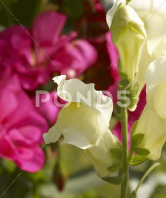 Stock photo of snapdragons