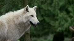 Gray wolf Stock Footage