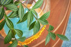 The branch hang-downing houseplant Stock Photos