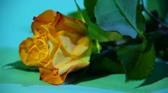Rose macro. Stock Footage