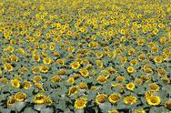 Stock Photo of the sunflower field