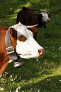 Stock Photo of portrait of alpine cow with bell