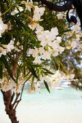 Beautiful white flowers in kefalonia Stock Photos