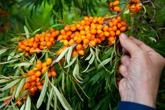 picking sea-buckthorn berries - stock photo