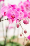 pink streaked orchid flower - stock photo