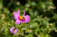 Stock Photo of cosmos flower in garden