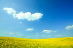 yellow field rapeseed in bloom with blue sky and white clouds - stock photo