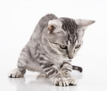 grey kitten playing and white background - stock photo