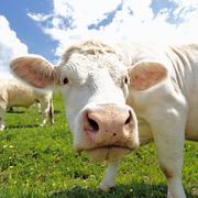 white head cow - stock photo