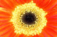 Stock Photo of gerbera closeup